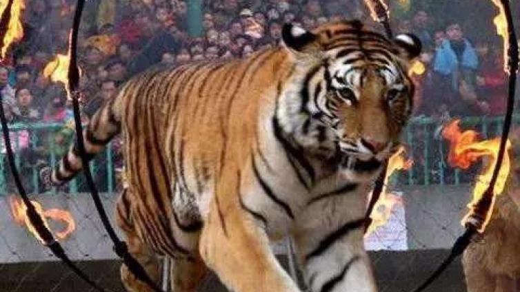 马戏团出逃老虎死亡:禁止动物表演为何这么难?