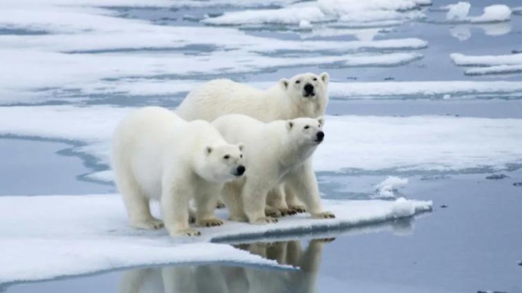 北极最高温38℃,北极熊或将灭绝……等待我们的还有什么?